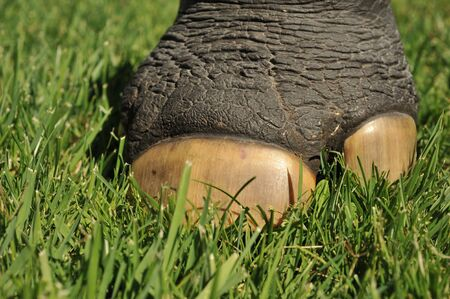 toenail: Rhinoceros foot with large toenail in a grass field  Stock Photo
