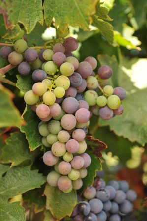grape field: Wine grapes growning in Napa Valley during September. Stock Photo