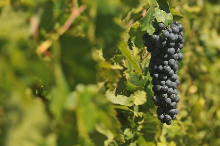 Wine grapes growning in Napa Valley during September. Stock Photo