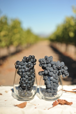Wine grapes growning in Napa Valley are in a wine glass a little to early Stock Photo