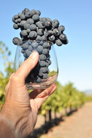 A hand holds a glass filled with wine grapes photo