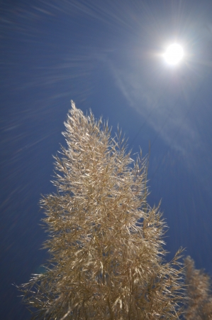 the flair: Sun rays and flair over a cattail in bloom Stock Photo