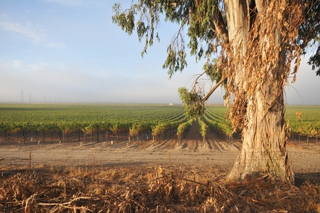 Wine growing in a field by a eucalyptus tree photo