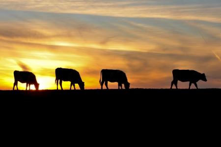 Il cielo è lo sfondo per quattro Sihouettes di mucche in un campo Archivio Fotografico - 17455700