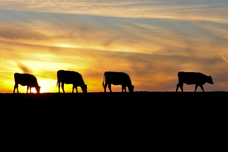 The sky is the background for four sihouettes of cows in a field