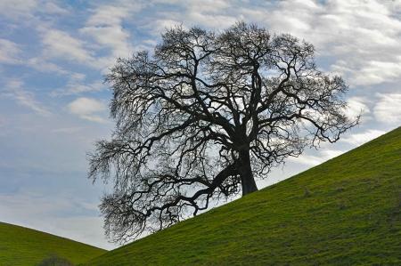 丘の上の大きな樫の木と緑のフィールド