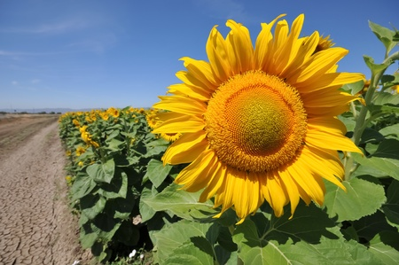 A sunflower head is in a field of sunflowers next to a dry, cracked area photo