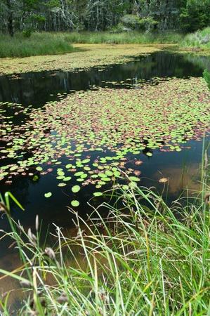 lirio blanco: Un lago está cubierto de rojo y verde lirio almohadillas Foto de archivo