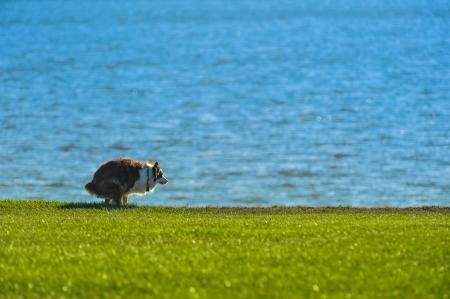 A dog defecates on grass near a bay photo