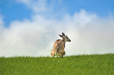 urinating: A deer urinates or pees in a grass field