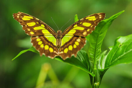 nymphalidae: Beautiful butterfly sits on a leaf in the tropics