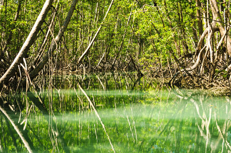 green river: Green river runs through a thick mangrove forest Stock Photo