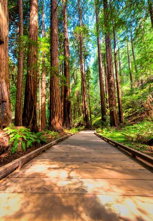 foot path: Redwood trees line a wooden foot path in a forest
