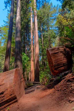 Redwood trees line a foot path in a forest photo