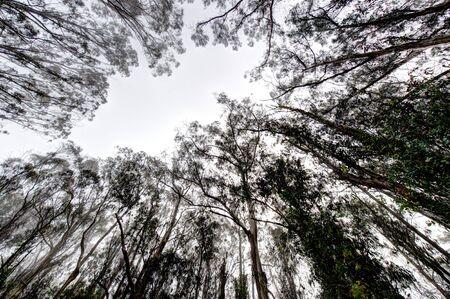 eucalyptus trees: Lookiing up to the sky through eucalyptus trees Stock Photo