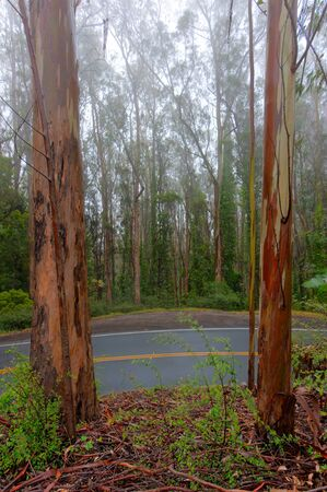 eucalyptus trees: Eucalyptus trees line a wet road with fog in the background Stock Photo