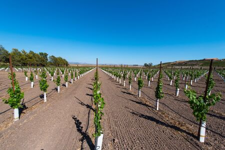 grape vines: New grape vines grow in rows with hill and a house are in the background