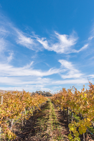 napa valley: Golf course is surrounded by rows of grape vines in Napa Valley
