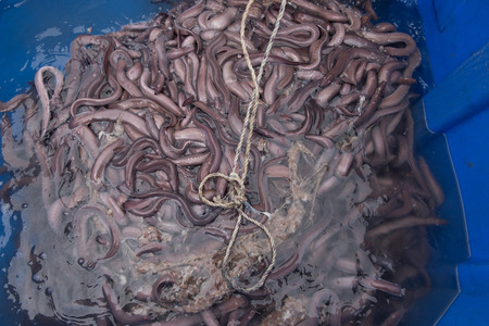 Hagfish caught off the Califonia coast from the Pacific Ocean Stock Photo