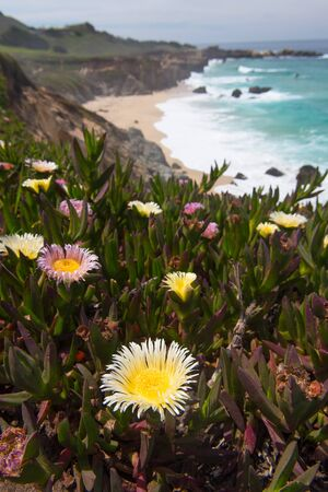 Cluster of blooming flowers by a hiking path on the Pacific Coast Stock Photo