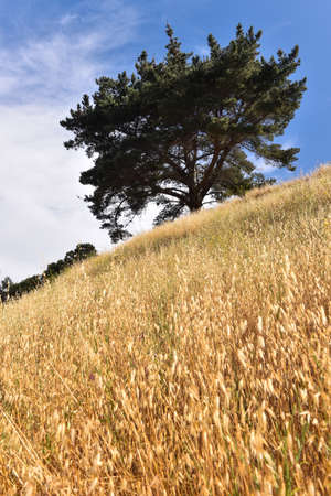 Golden grass on side of hill with large tree and blue sky Stock Photo