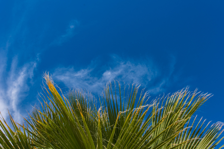 wispy: A palm tree leafs blow in th wind with clounds in the blue sky