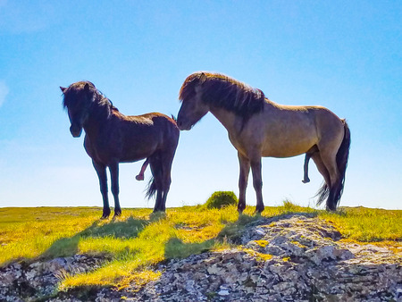 Two Icelandic horses with their penises hanging out Stock Photo