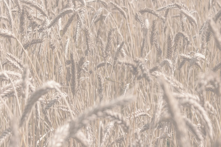 wheat background: Background wheat background for the template. Stock Photo