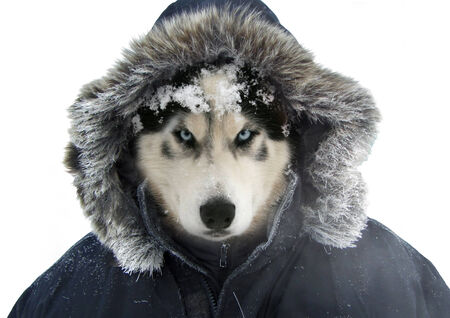 tundra: Siberian husky in a warm, human clothing.