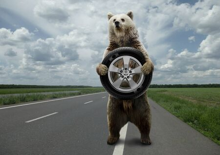 Bear,standing on the road with the wheel in feet. Stock Photo