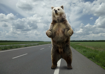 brown: Brown bear standing on the road.