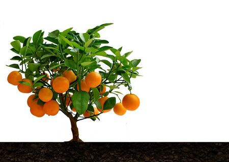 citrus tree: Tangerine tree with citrus fruit Mandarin. Stock Photo