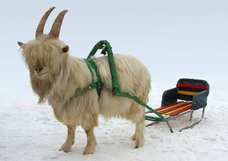 goat horns: Goat harnessed to a cart.