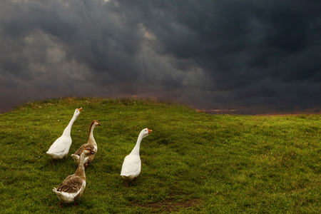 Geese walking on the green field.
