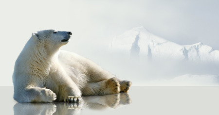 floe: Polar bear lying on the ice in the environment of the iceberg. Stock Photo
