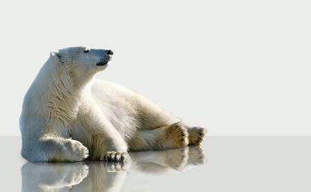 シロクマ、氷の上に横たわる。 写真素材 - 37444928