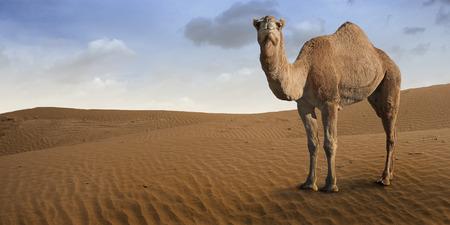 砂漠の前でラクダの立っています。 写真素材