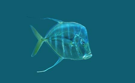 aquarium hobby: Tread fin Jack. Stock Photo