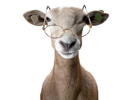 Ram wearing spectacles. Stock fotó