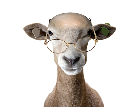 wearing spectacles: Ram wearing spectacles. Stock Photo