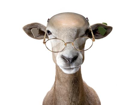 nonsense: Ram wearing spectacles. Stock Photo