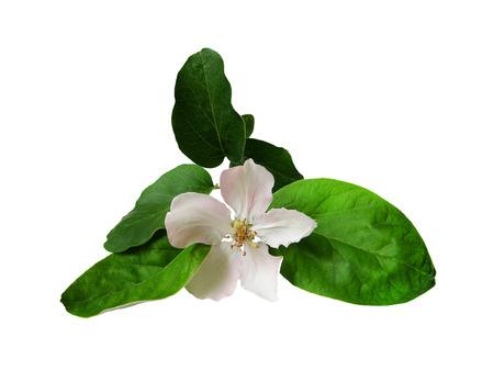 membrillo: Flor de membrillo con una rama. Foto de archivo