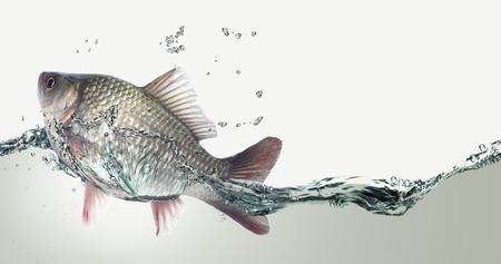 fish net: Silver cyprinus.