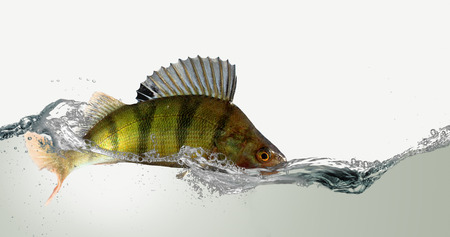 sea fishing: River perch and water.