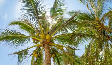 Coconut palms in the rays of the summer sun. 写真素材
