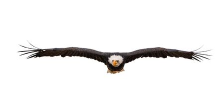 Bald Eagle Flying on a white isolated background. Фото со стока