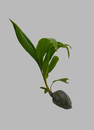 Sprouted coconut on an isolated gray background.