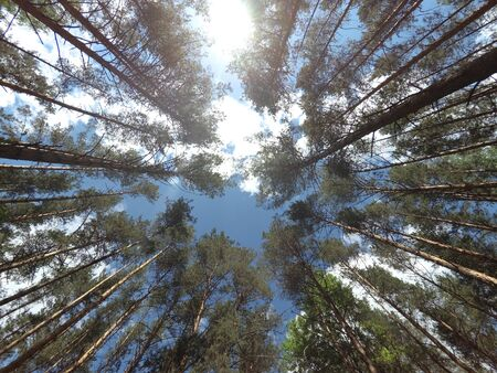 The sky in the summer pine forest