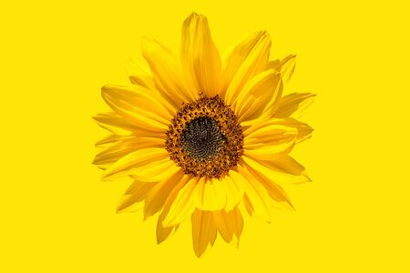 Abstraction of yellow color, the flower of the opened sunflower.