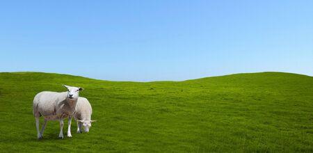 Pecore al pascolo su un prato. Gruppo, paesaggio.